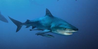 Requin 17